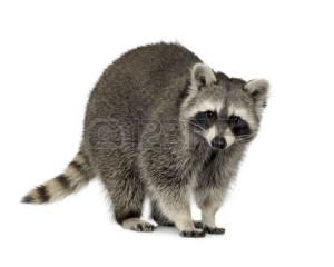 2705774-raccoon-9-months--procyon-lotor-in-front-of-a-white-background