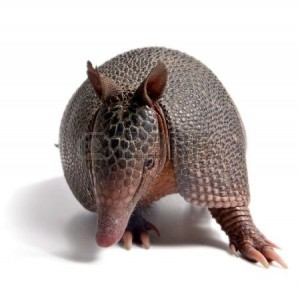 4825406-mulita-armadillo-of-six-bands-on-to-white-background